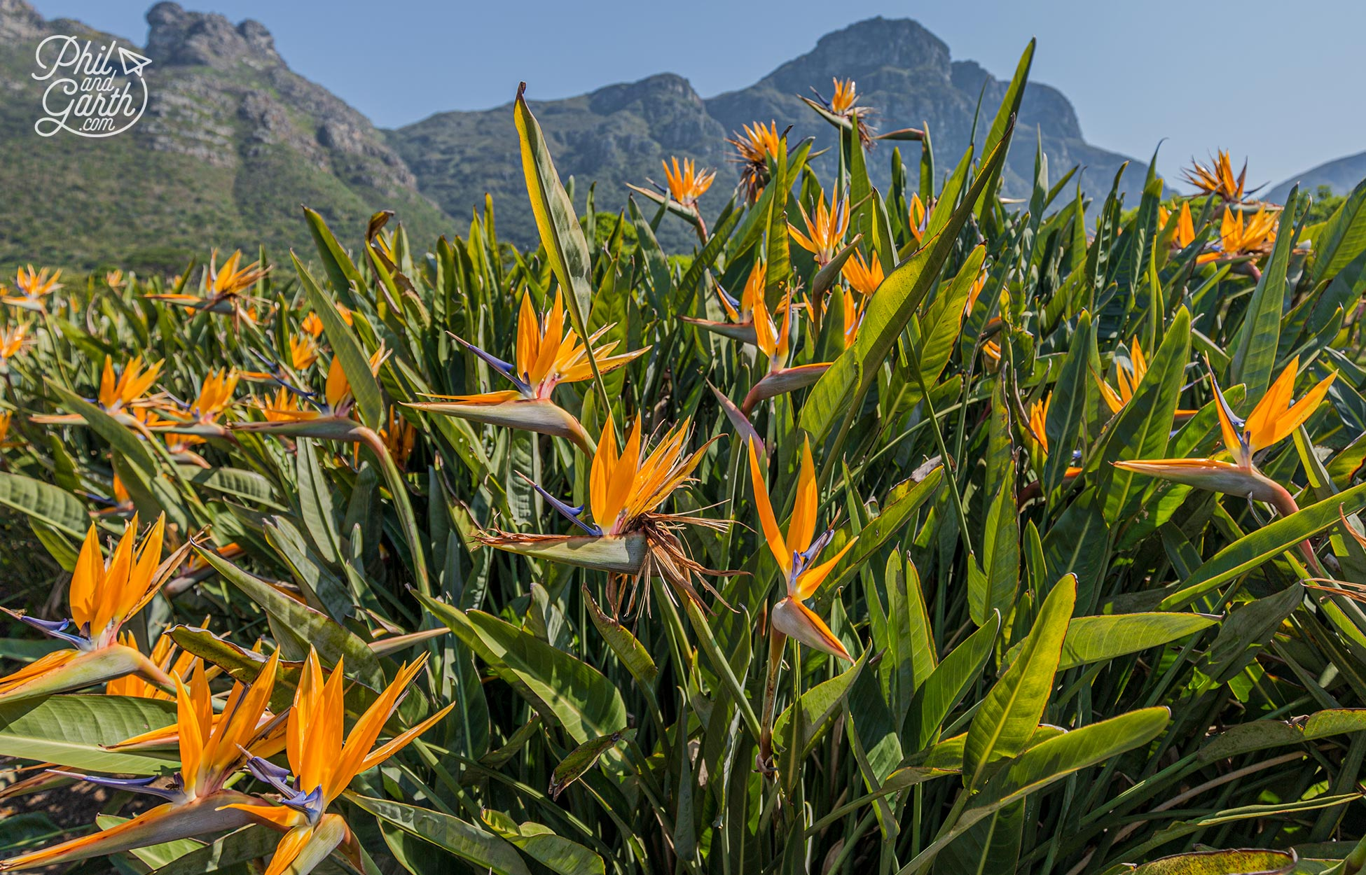 The wonderful flowers of the Birds Of Paradise plants