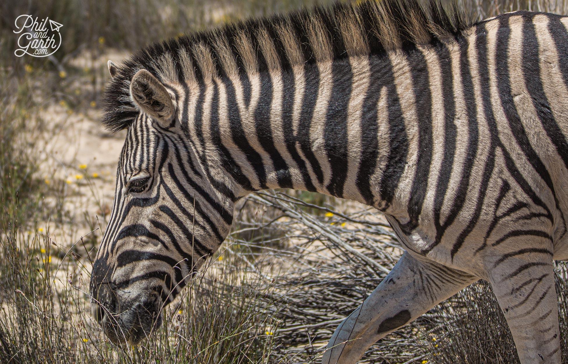 We past a few zebra at Aquila
