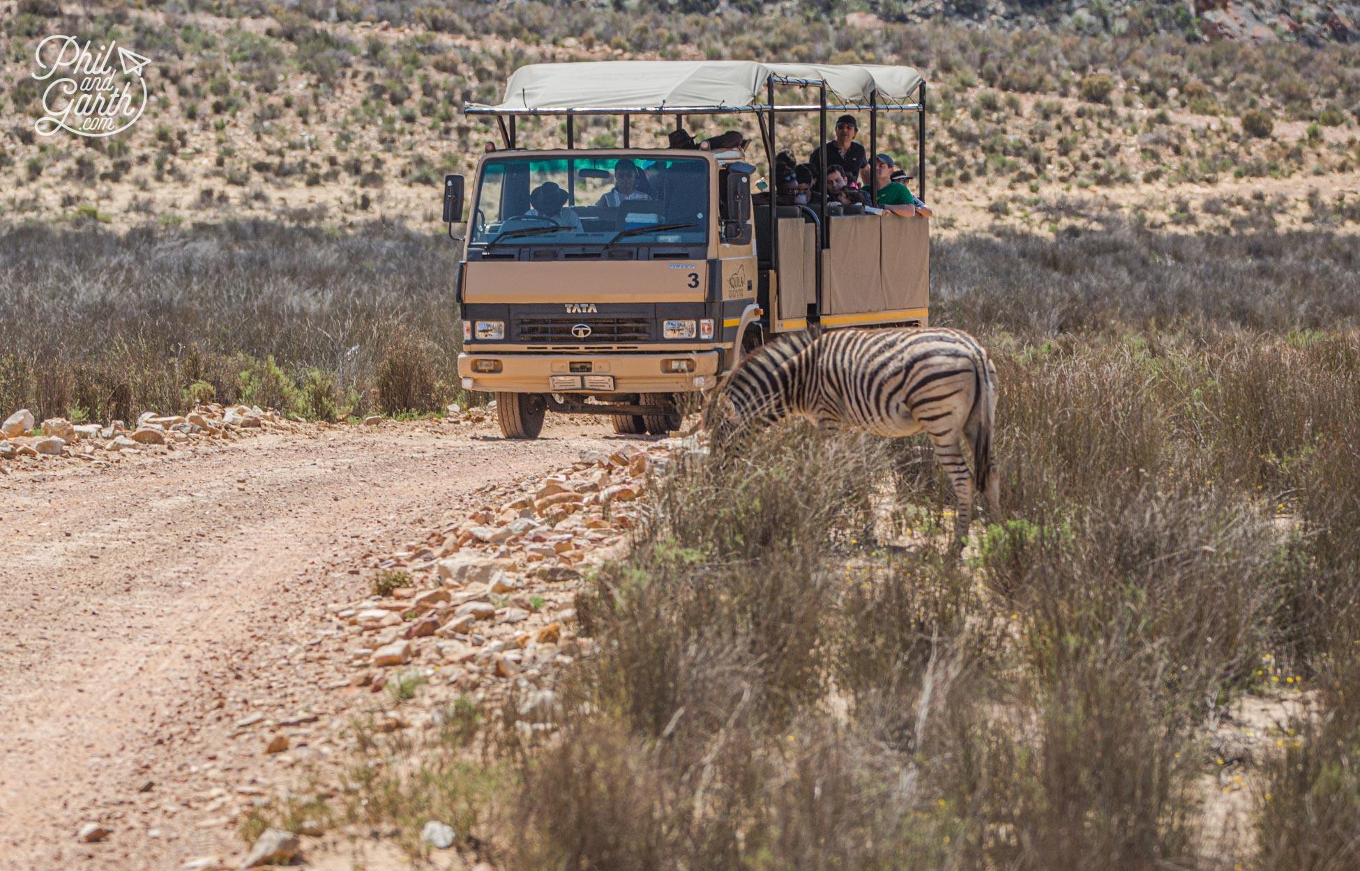 Our big 5 safari near Cape Town - The vehicle trucks are bumpy!