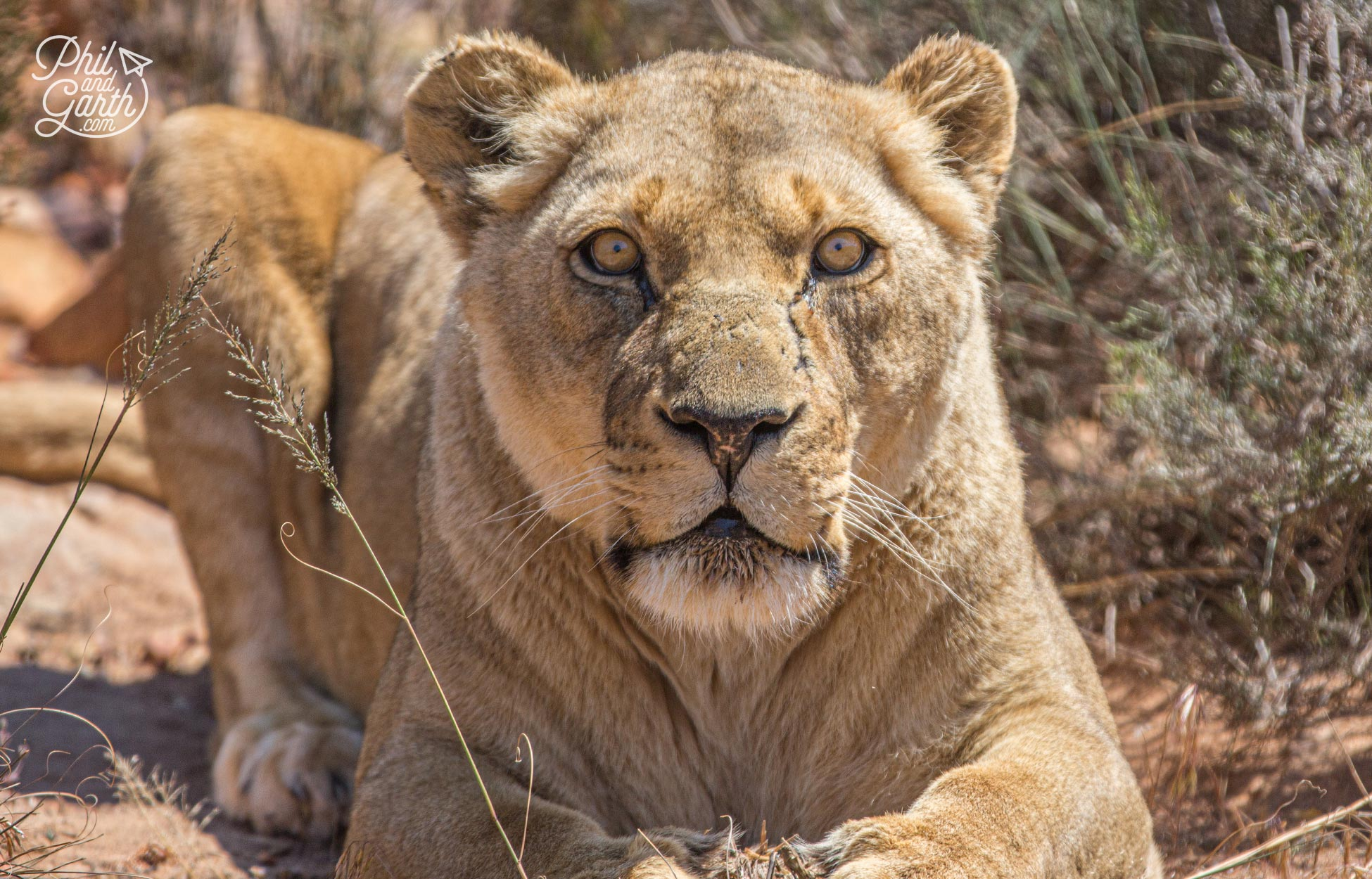 This lioness looks like she was ready to pounce on us!