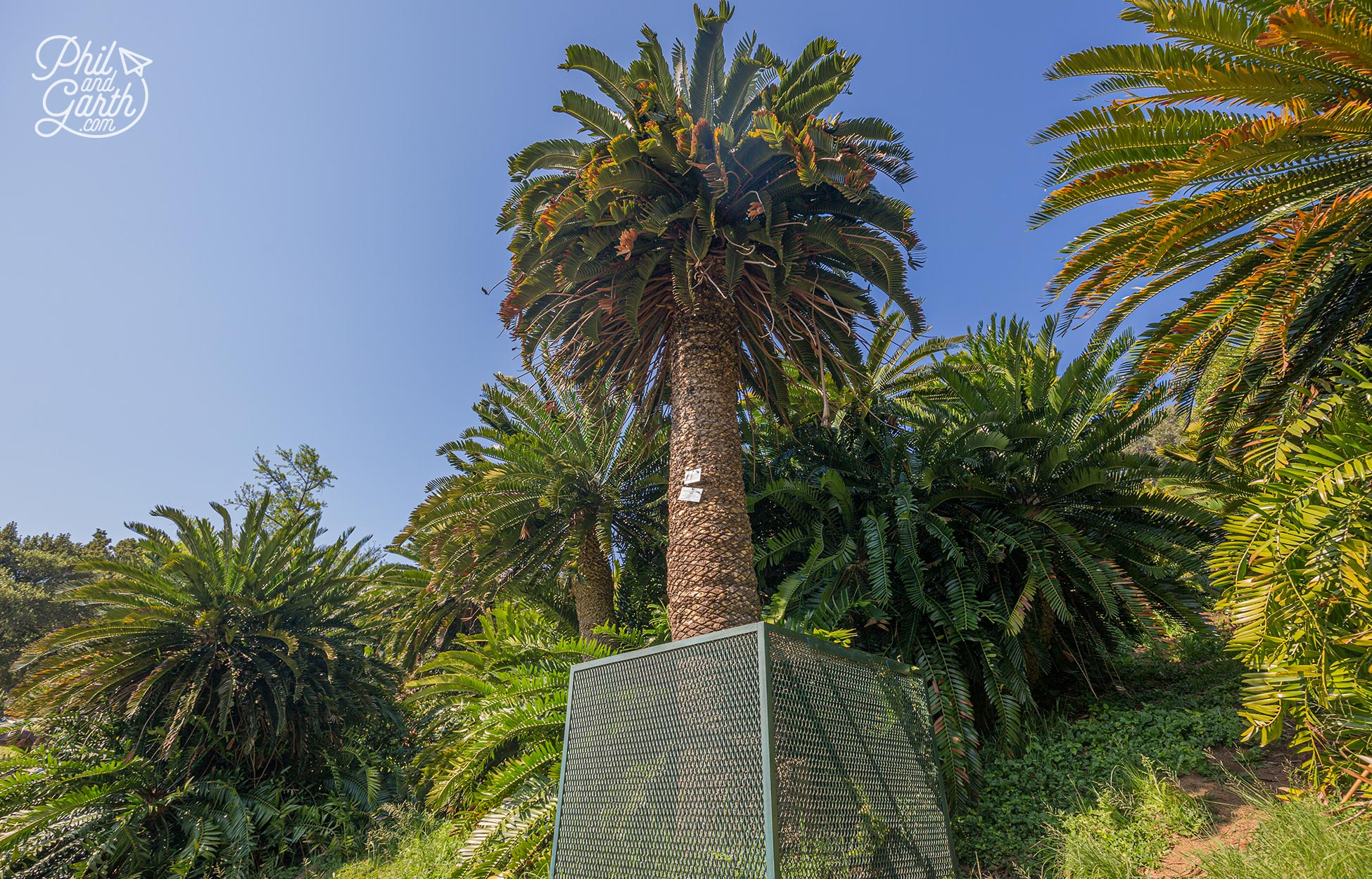 The oldest plant in South Africa - Wood's Cycad (Encephalartos woodii)