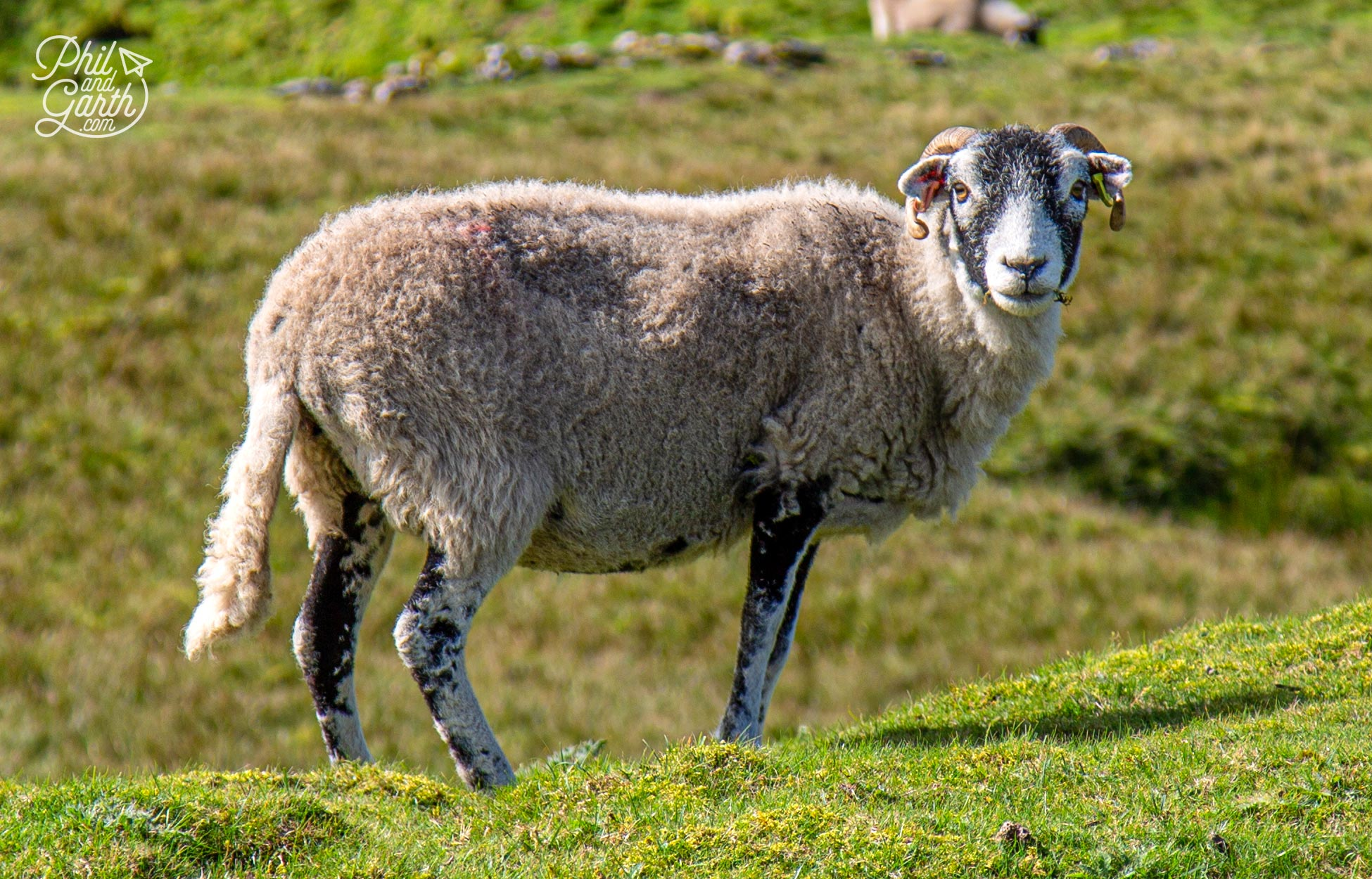 Swaledale sheep are known for their hardiness in exposed places