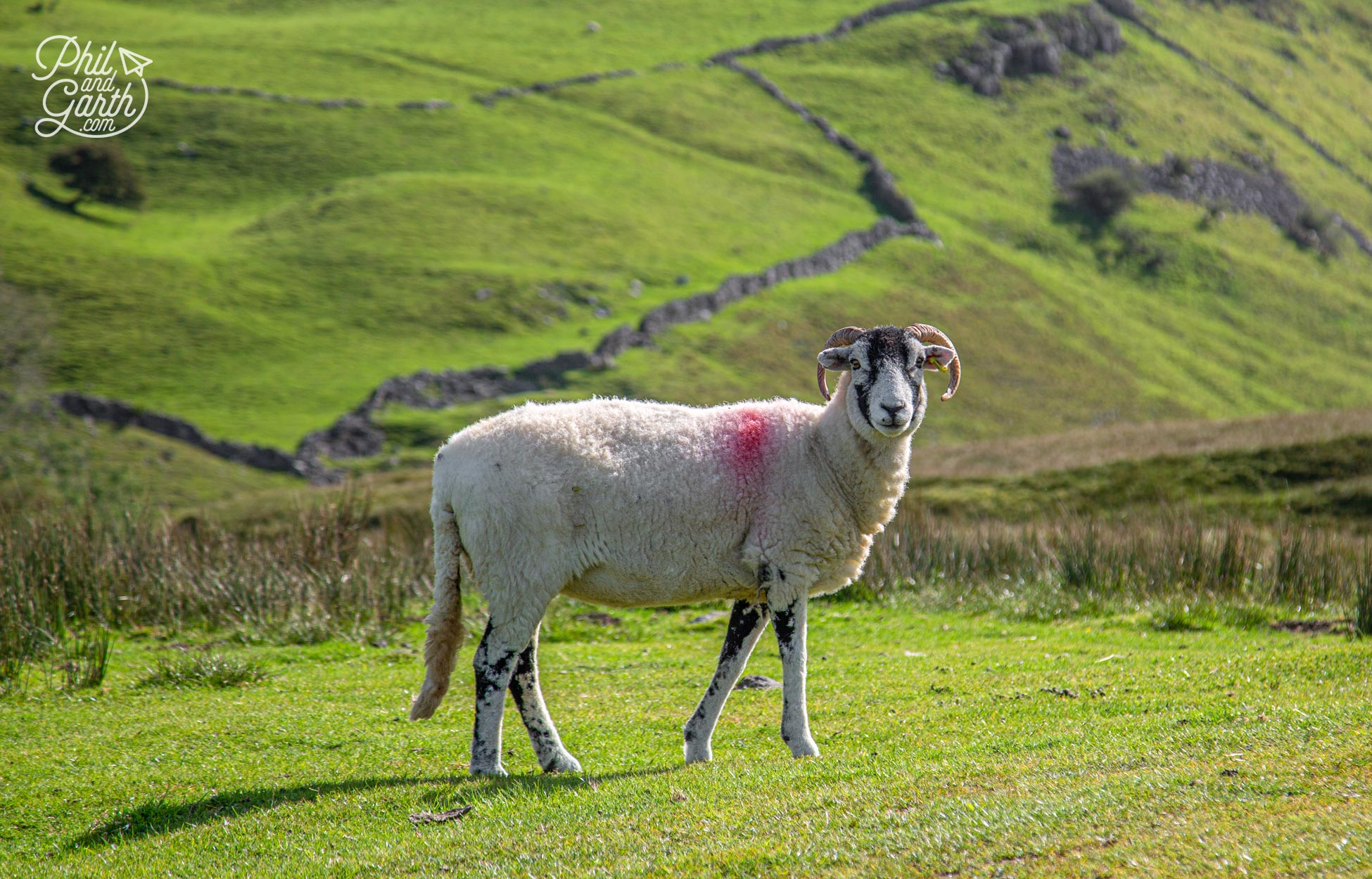 Swaledale sheep with their curly horns are an iconic sight in the Yorkshire Dales