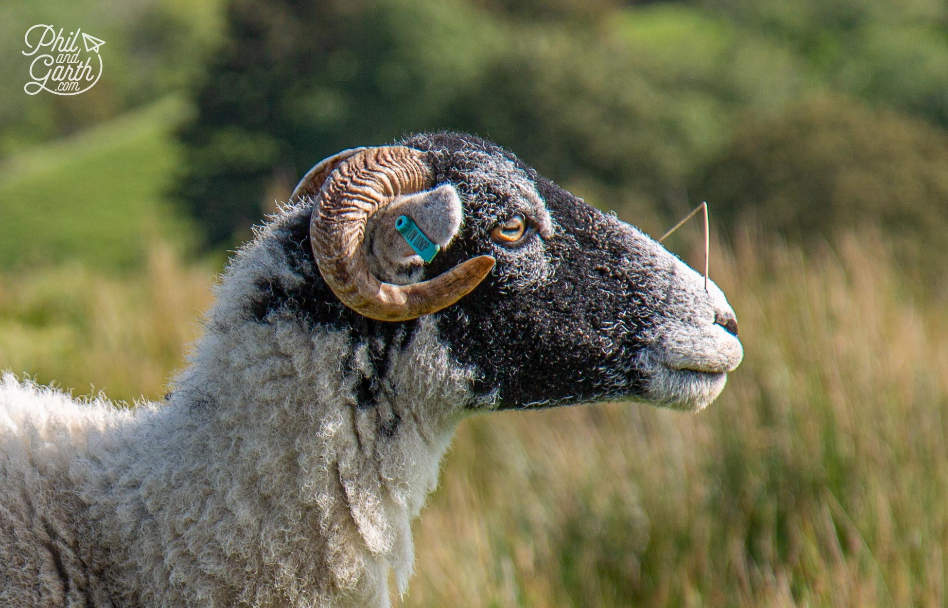 Swaledale sheep have distinctive curled horns