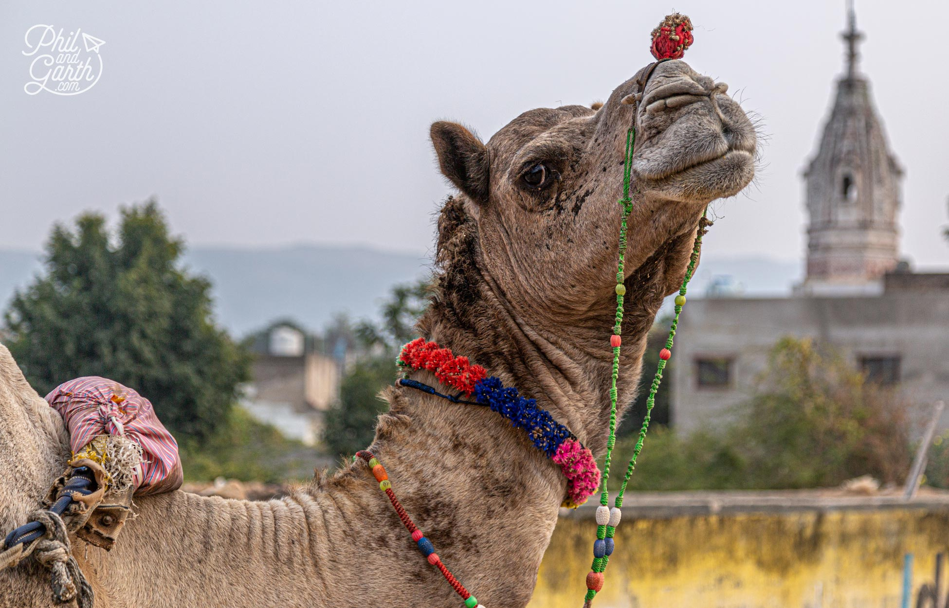 Camel safaris are a popular excursion for tourists, but not for us
