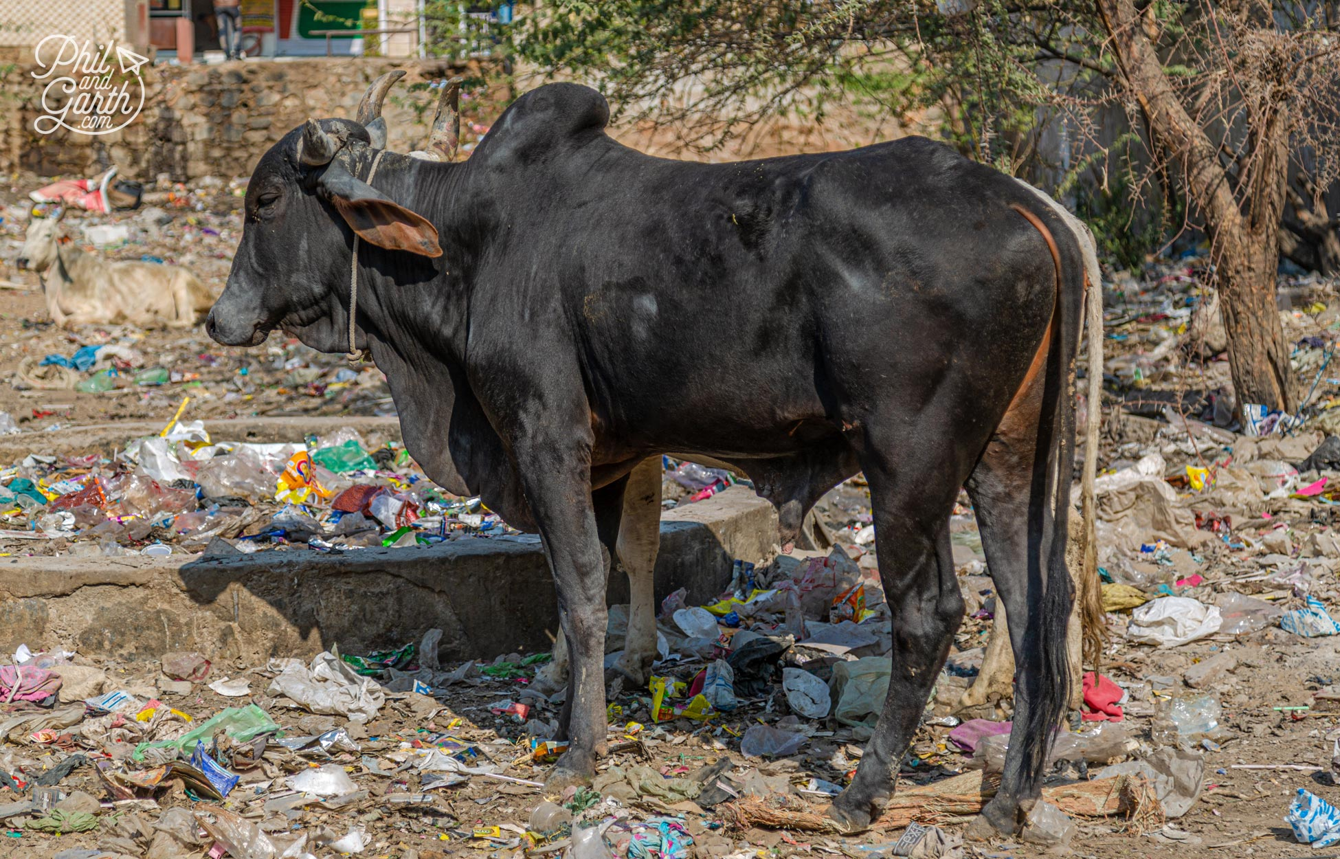 Cows eating what food they can find in the rubble and rubbish