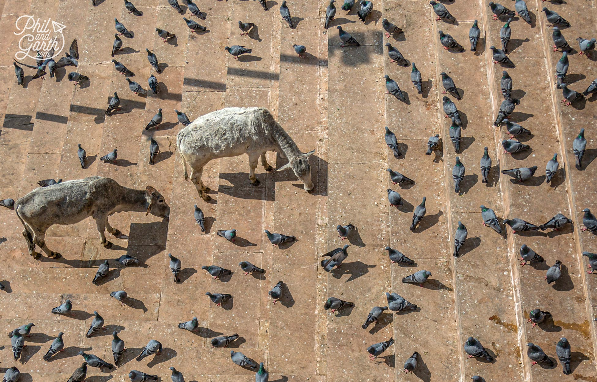 Pigeons and cows looking for food on the ghats
