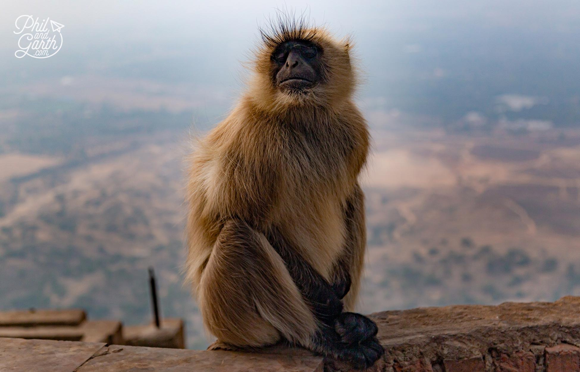 The cheeky monkeys at Savitri Temple