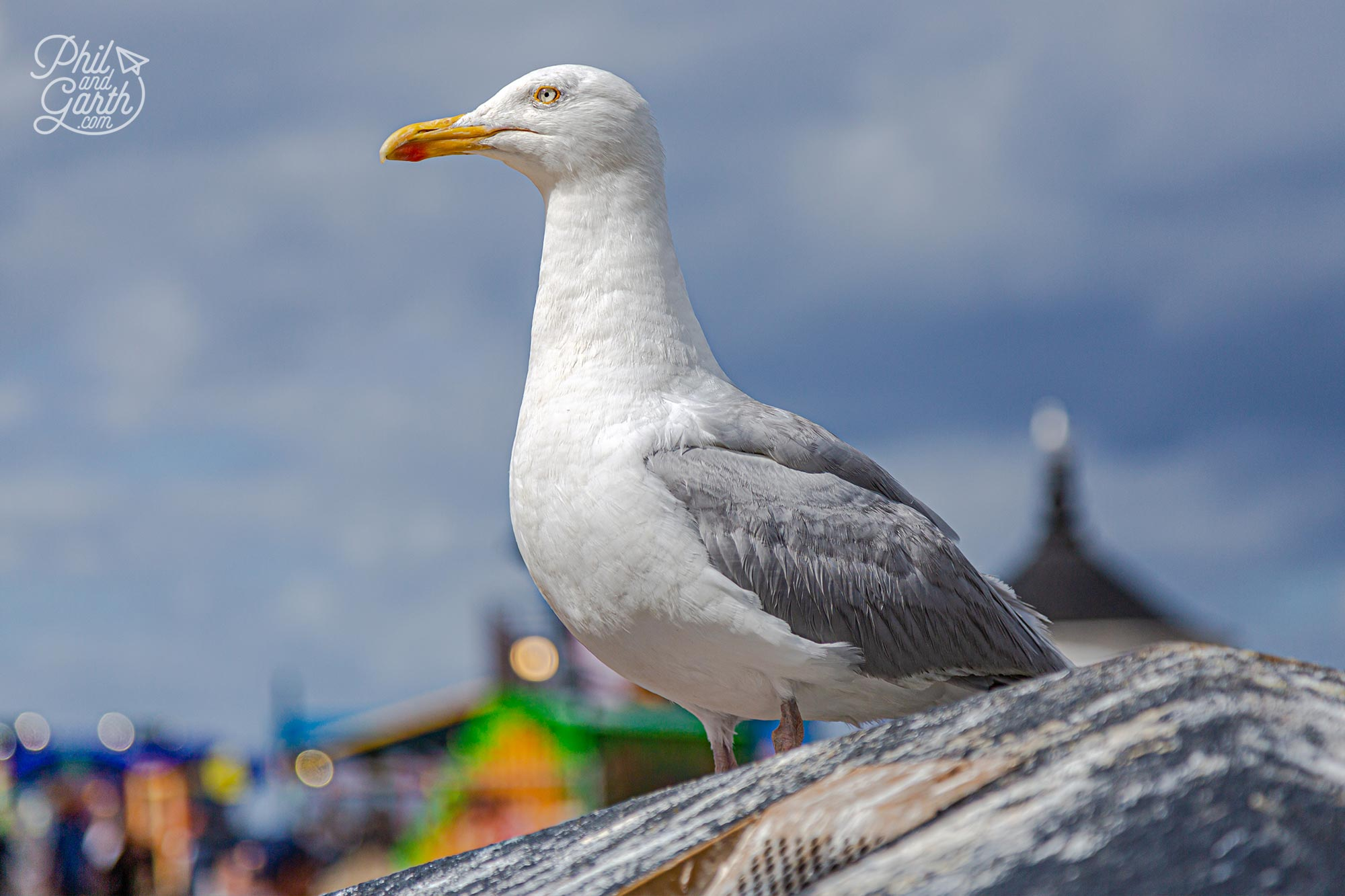 Whitby seagulls, or kittiwakes by their proper name are loud, greedy and will steal your food