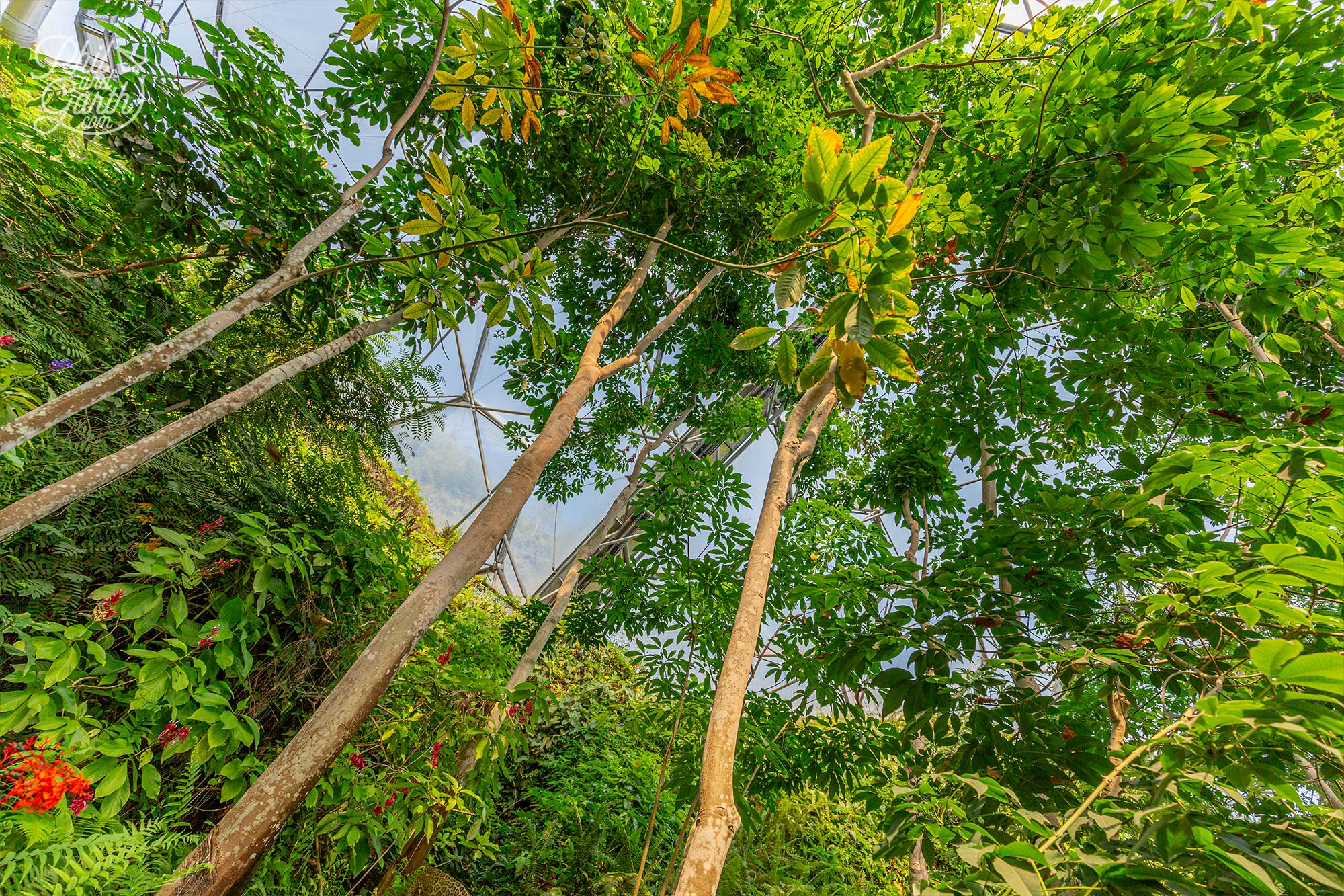 A grove of rubber trees