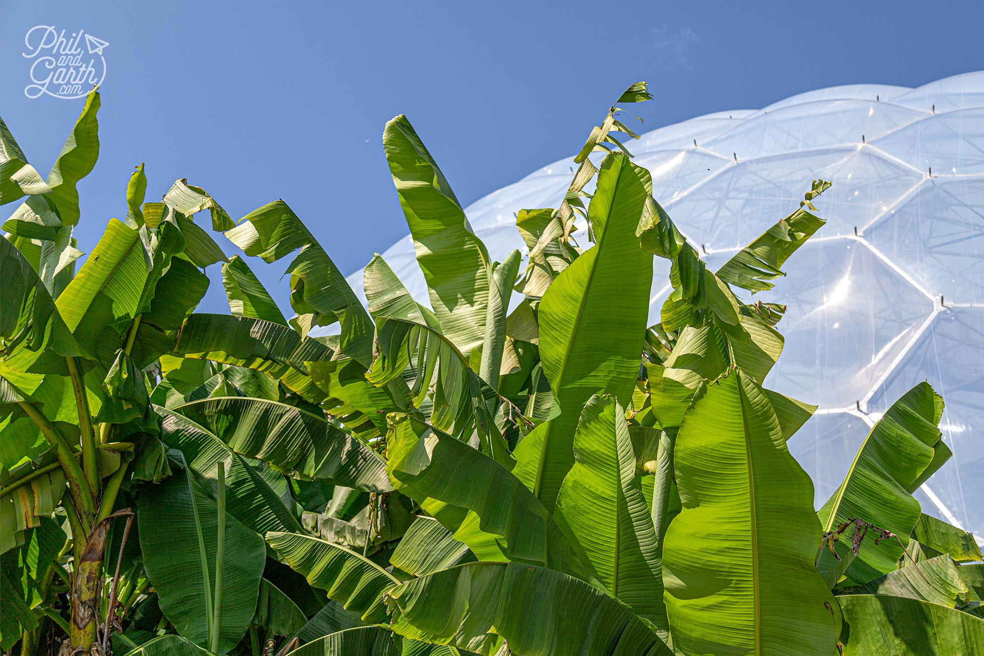 Amazing to see bananas growing in the middle of the English countryside