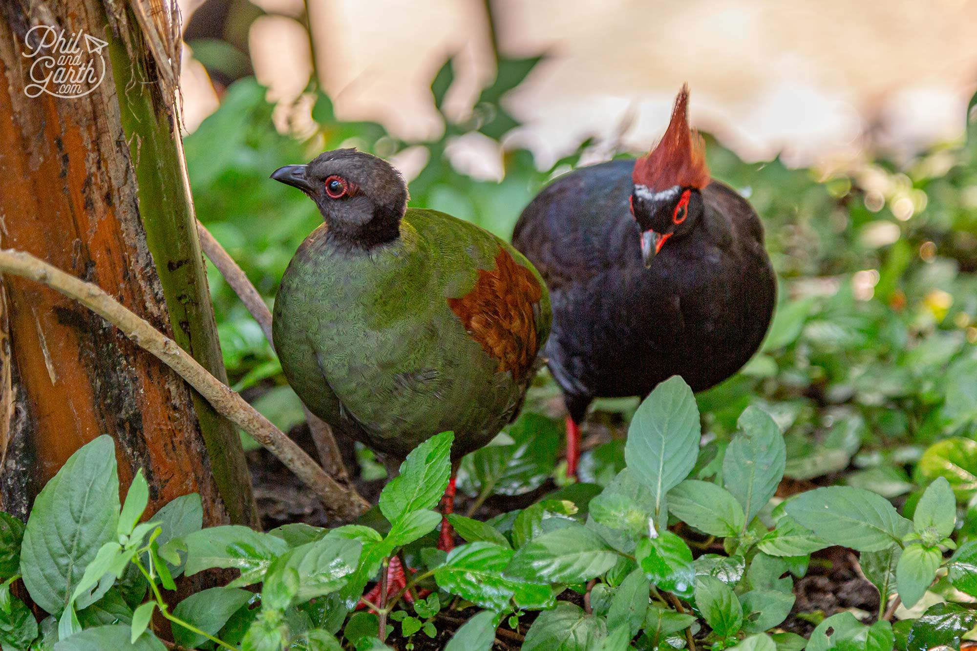 Roul-roul partridges - usually found in the rainforests of Myanmar, Thailand, Malayasia and Borneo
