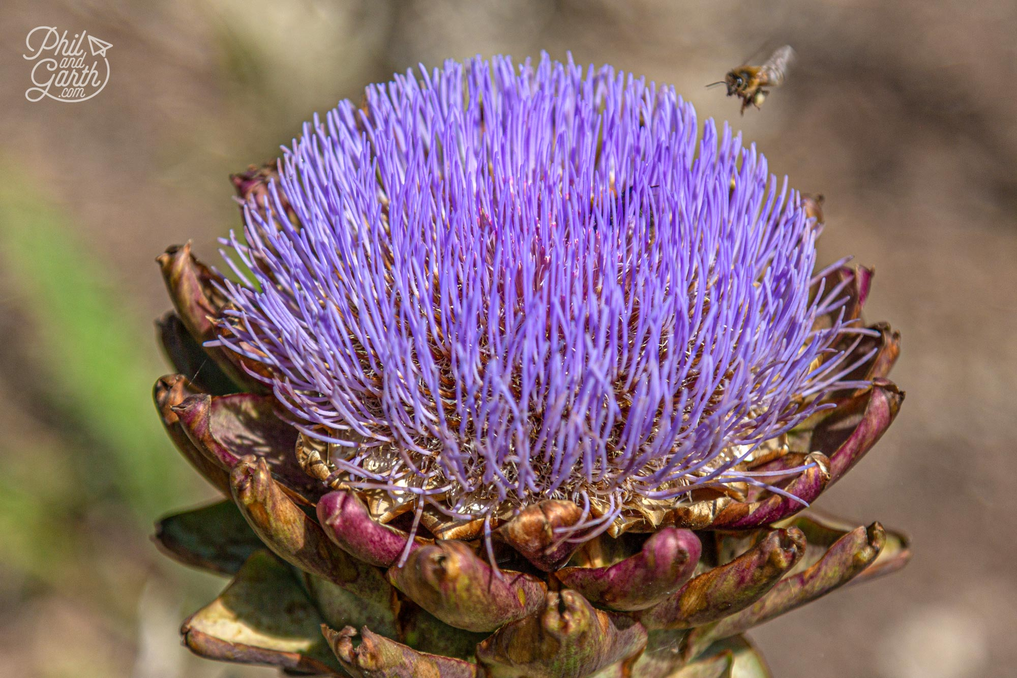 The bees loved these globe artichokes