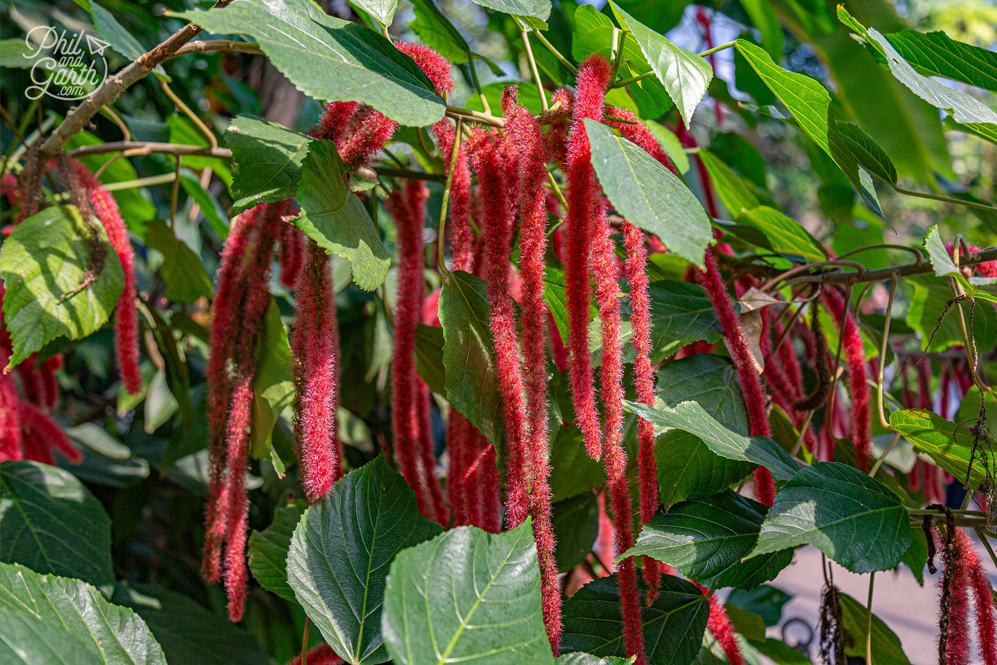 These are called Love Lies Bleeding Amaranthus caudatus from Central and South America