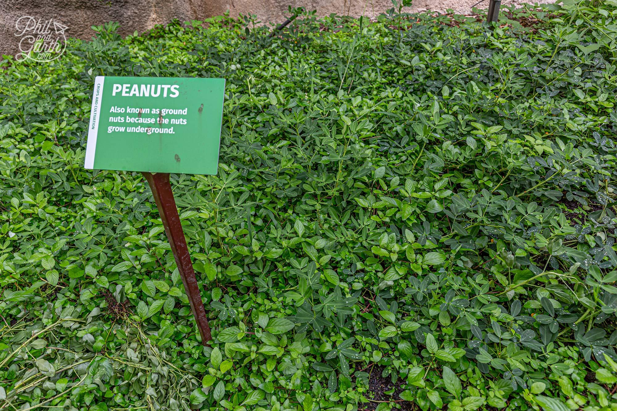We had no idea peanuts grow underground